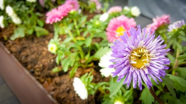 Hermosas flores florecientes violetas y rosadas.