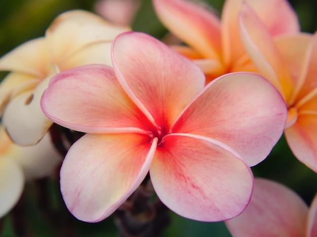 Hermosas flores de frangipani en una rama. la flor rosada del plumeria florece en la mañana con un fondo verde de la falta de definición.