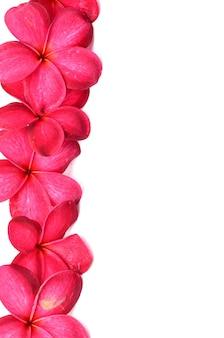 Hermosas flores de frangipani