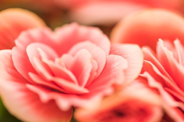 Hermosas flores frescas de color rosa