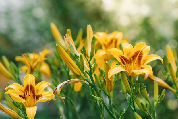 Hermosas flores de lirio amarillo en el jardín en verano
