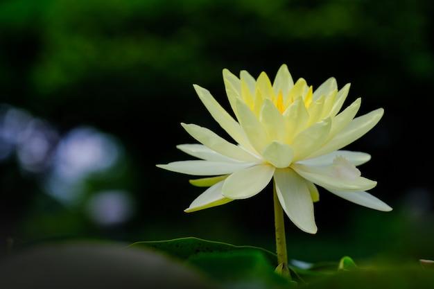 Hermosas flores de loto amarillas en la piscina