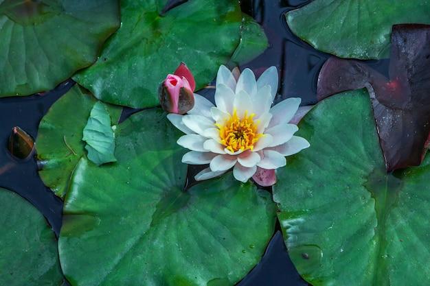 Hermosas flores de loto blanco y hojas verdes en la superficie del agua