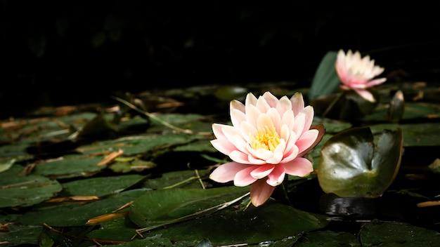 Hermosas flores de loto en el lago
