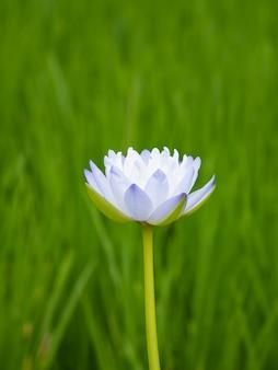 Hermosas flores de loto en la mañana