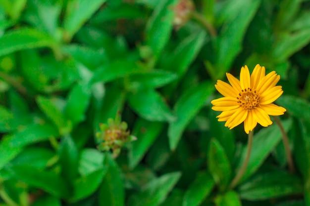 Hermosas flores de margarita amarilla, pequeña estrella amarilla.
