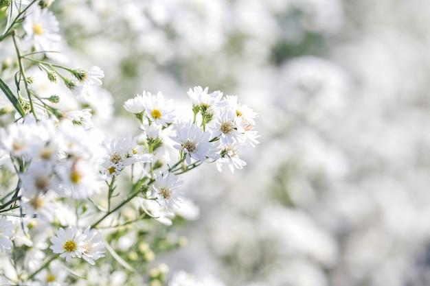 Hermosas flores de margarita blanca de michaelmas en estilo suave para la escena de la naturaleza