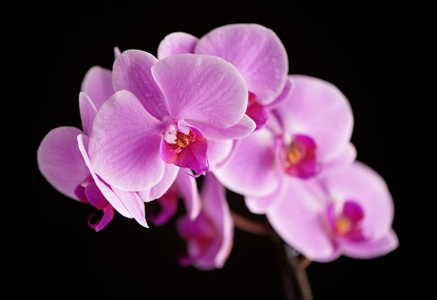 Hermosas flores de orquídeas phalaenopsis púrpura, aisladas sobre fondo negro