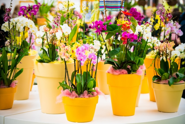 Hermosas flores de orquídeas phalaenopsis