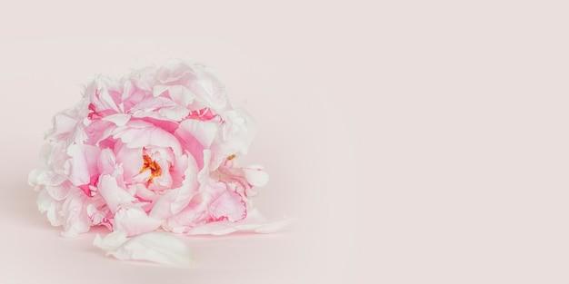 Hermosas flores de peonía rosa. primavera bckground