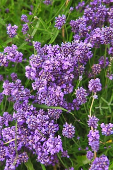 Hermosas flores púrpuras de armeria, alissum o muscari