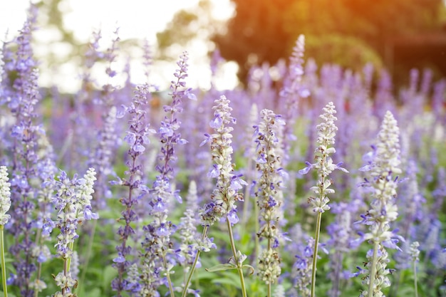 Hermosas flores púrpuras de lavanda con luz solar en el fondo del jardín