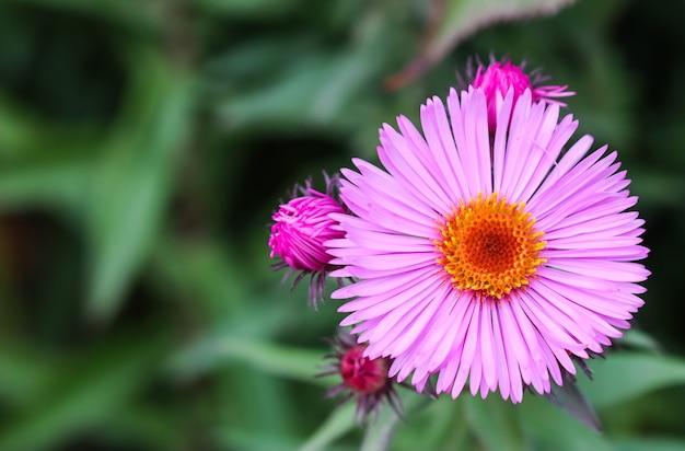 Hermosas flores rosadas de otoño aster en el jardín