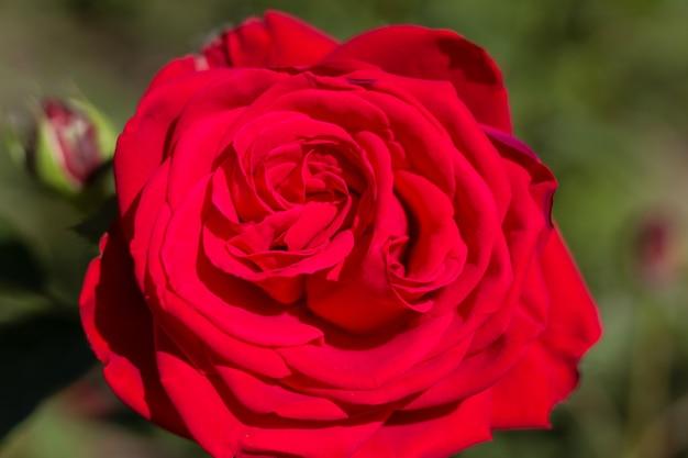Hermosas flores rosas coloridas cerrar enfoque suave