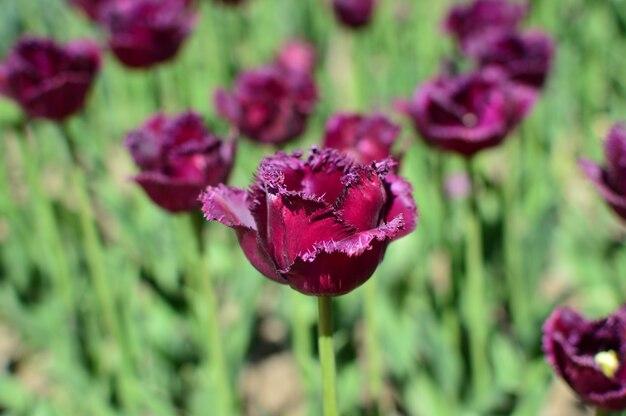 Hermosas flores de tulipanes decorativos de color púrpura oscuro florecen en el jardín de primavera.