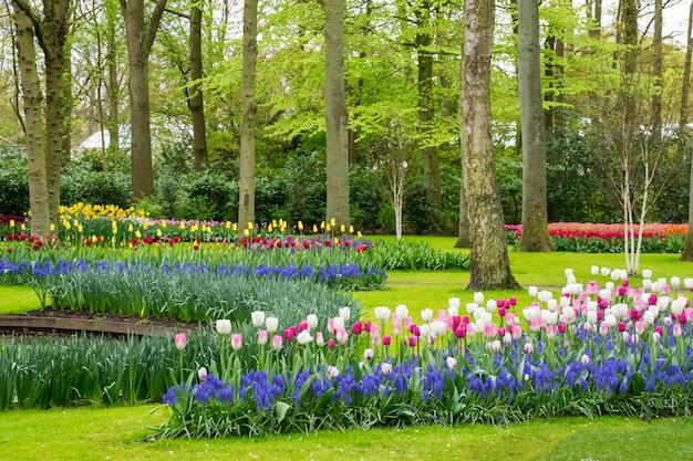 Hermosas flores de tulipanes de primavera en el parque en holanda