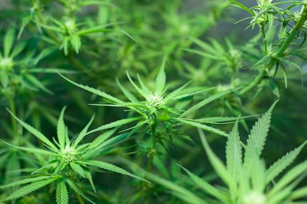 Hermosas flores verdes de capullos de cannabis florecientes. concepto: planta de marihuana medicinal.