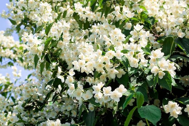 Hermosas y fragantes flores blancas de jazmín de cerca en la temporada de floración, flores de primavera de mayo en la naturaleza