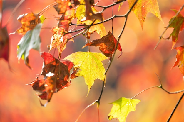 Hermosas hojas de arce en un día soleado de otoño en primer plano y un fondo borroso en taiwán, sin gente, de cerca, copie el espacio, disparo macro.