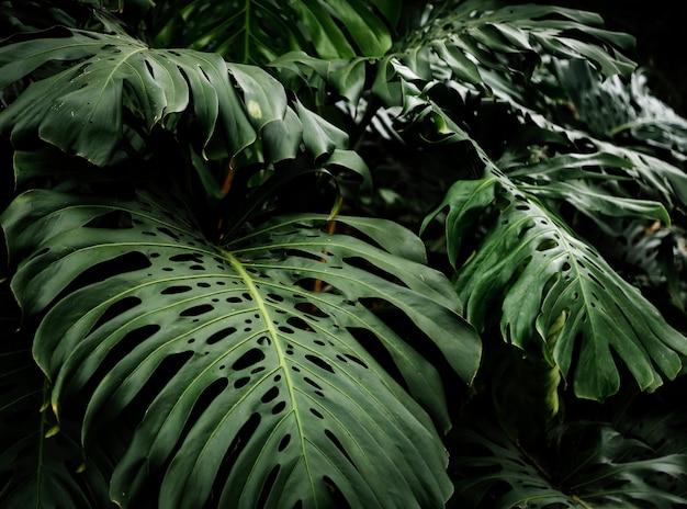 Hermosas hojas de filodendro tropical