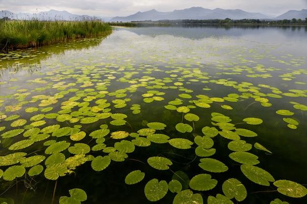Hermosas hojas de nenúfar flotando en un estanque con las montañas al fondo