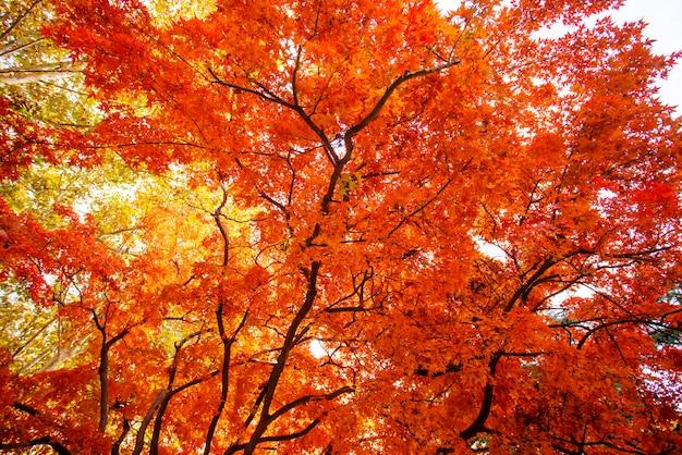 Hermosas hojas rojas en otoño