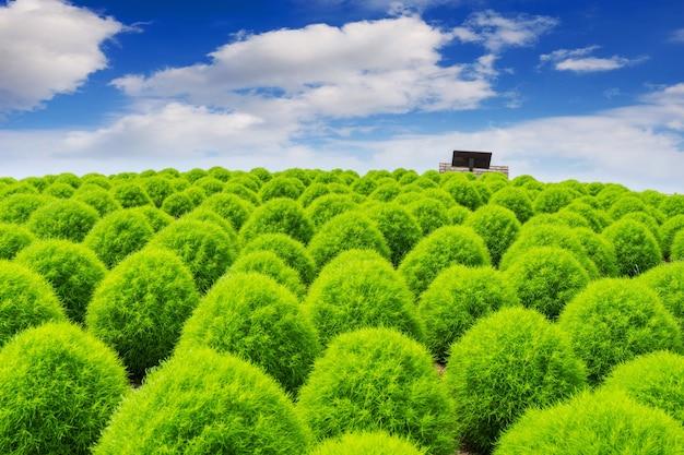 Hermosas kochias en el parque costero de hitachi, japón.