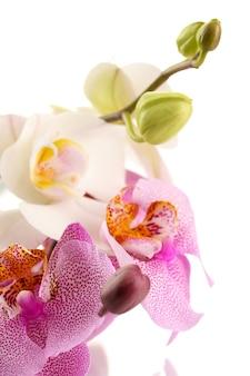 Hermosas orquídeas, aisladas en blanco