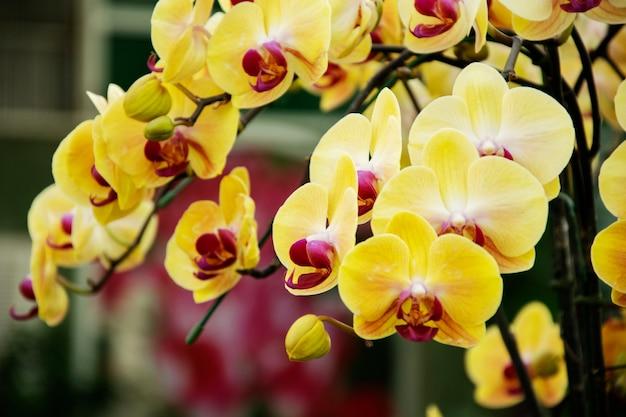 Hermosas orquídeas amarillas florecen en el jardín
