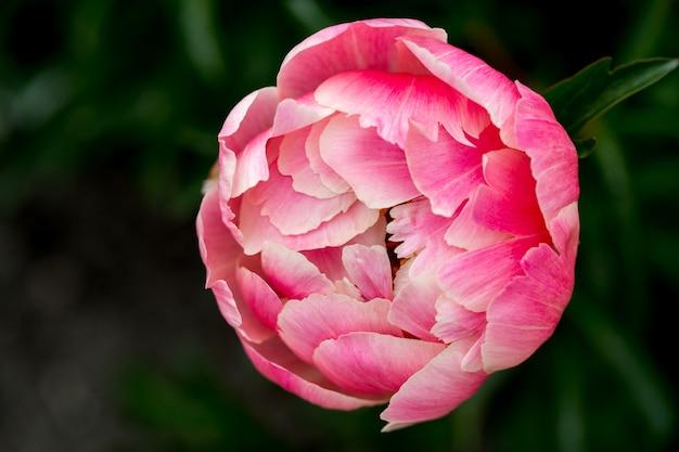 Hermosas peonías rosas en el jardín verde