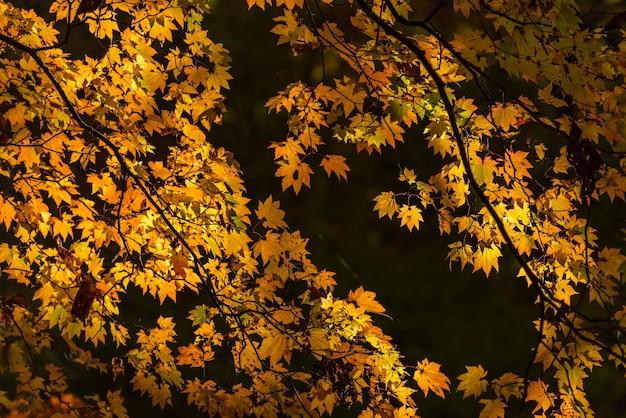 Hermosas ramas amarillas otoñales de un árbol
