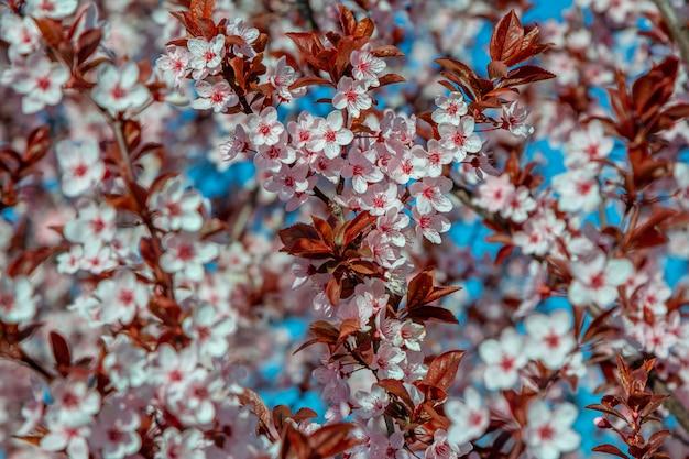 Hermosas ramas de cerezo en flor con flores de color rosa que crecen en un jardín. fondo de naturaleza de primavera.