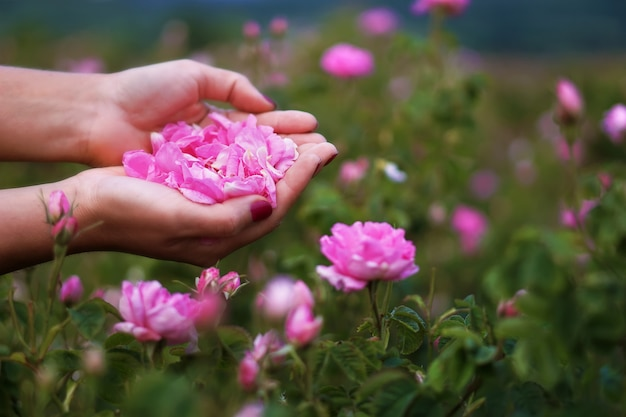 Hermosas rosas búlgaras del damasco