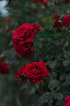 Hermosas rosas de jardín florecidas rojas