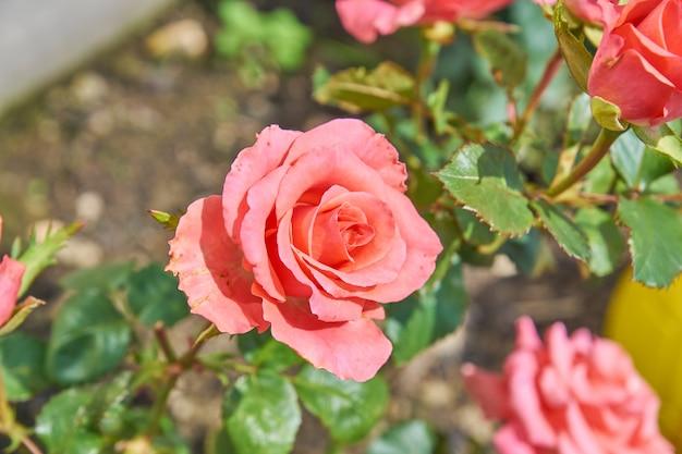 Hermosas rosas rosas florecen en el jardín. paisaje de patio de campo.