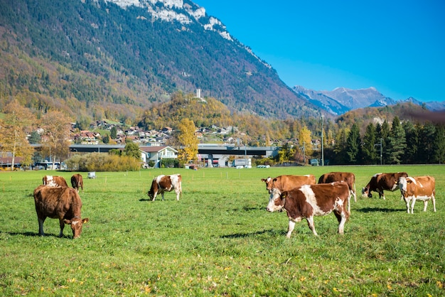 Hermoso de los alpes de montaña y ganado y en otoño en el cantón de interlaken
