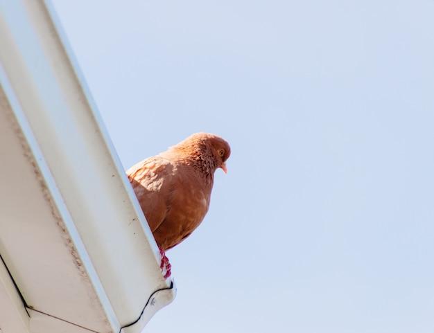 Hermoso ángulo bajo tiro de una paloma marrón encaramado en el techo de un edificio
