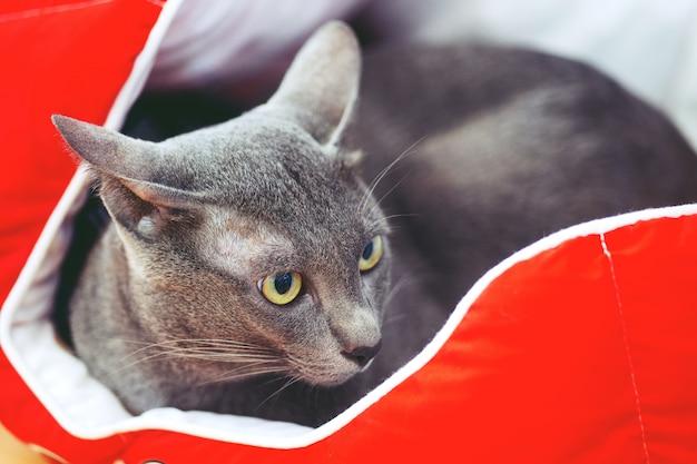 Hermoso animal de compañía, lindo gato negro en la cama roja para mascotas