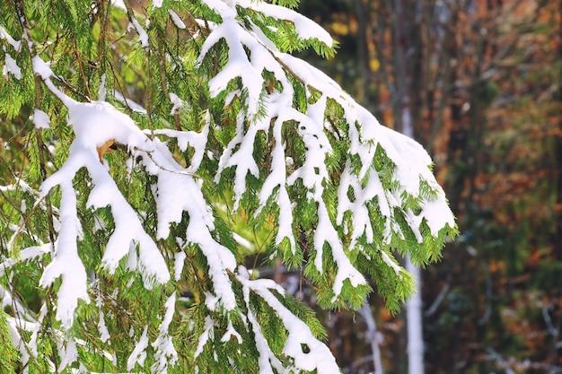 Hermoso árbol de coníferas cubierto de nieve en el bosque en día de invierno