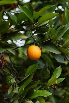 Hermoso árbol con frutas naranjas maduras