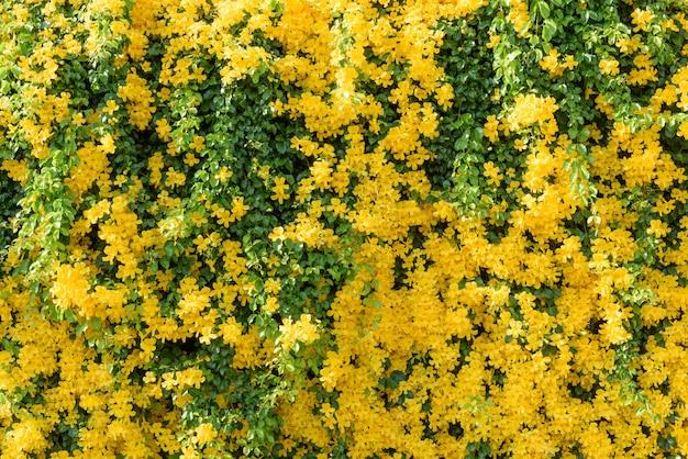 Hermoso árbol de hiedra de flor amarilla con fondo de hojas verdes frescas, enredadera de garra de gato o bignoniaceae