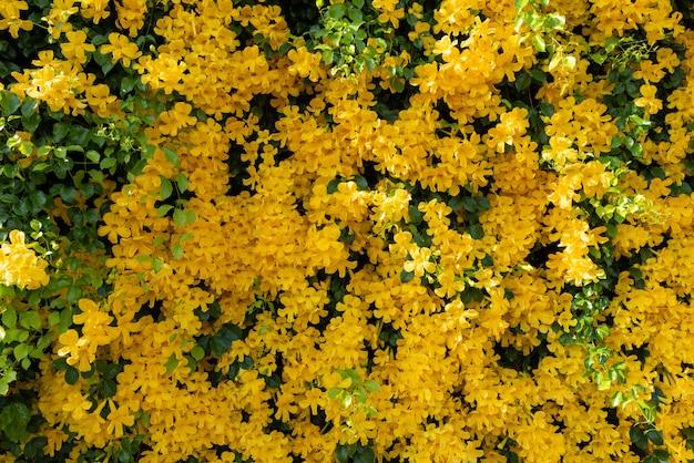 Hermoso árbol de hiedra de flor amarilla y fondo de hojas verdes frescas, enredadera de garra de gato o bignoniaceae