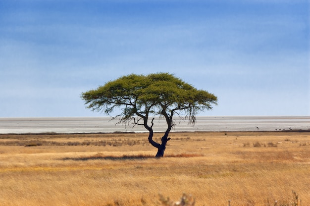 Hermoso árbol reserva africana de naturaleza y vida silvestre, etosha pan, namibia