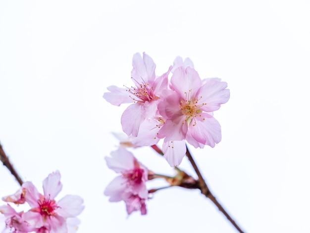 Hermoso árbol de sakura de flores de cerezo florece en primavera aislado sobre fondo blanco, espacio de copia, de cerca.
