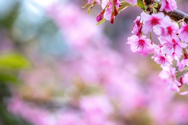 Hermoso árbol de sakura de flores de cerezo florecen en primavera sobre el jardín, copie el espacio, de cerca.