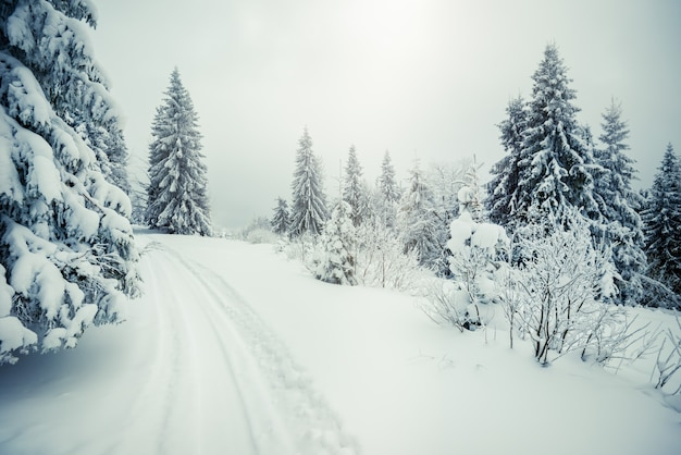 Hermoso y áspero paisaje fascinante de abetos nevados de pie sobre ventisqueros y laderas de las montañas con el telón de fondo de la niebla en un día helado de invierno nublado
