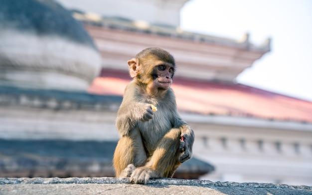 Hermoso bebé mono animal en katmandú, nepal