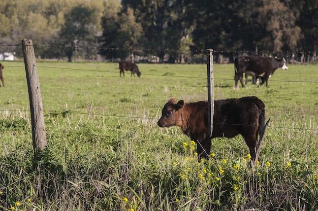 Hermoso becerro marrón de pie en el campo verde detrás de la cerca