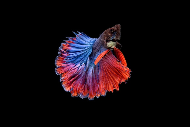Hermoso betta splendens azul y rojo de media luna, pez luchador siamés o pla-kat en peces populares tailandeses en acuarios.