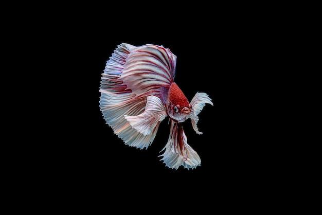 Hermoso betta splendens blanco y rojo de media luna, pez luchador siamés o pla-kad en peces populares tailandeses en acuarios.